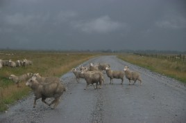 Sheep running in the rain