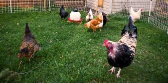 IMGP0804 chicken boundaries 2015