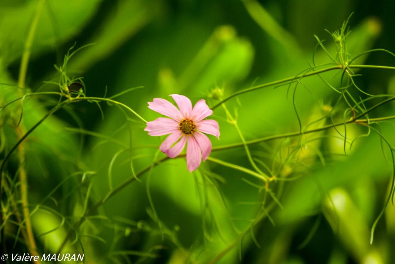 La fleur du jour, échappée de la destruction cyclonique