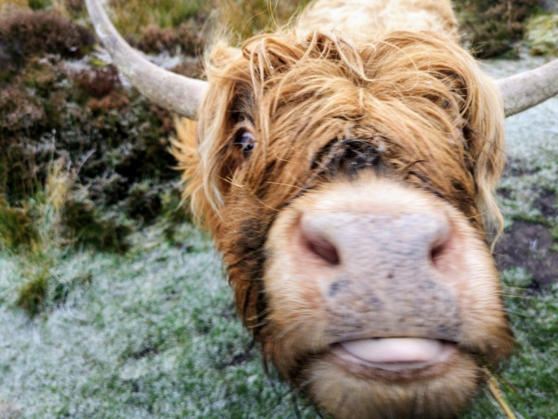 Close up of young Highland Cattle cow, just poking its tongue out