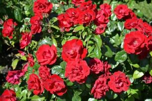 Rose_11