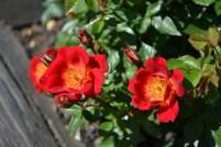 Rose_14