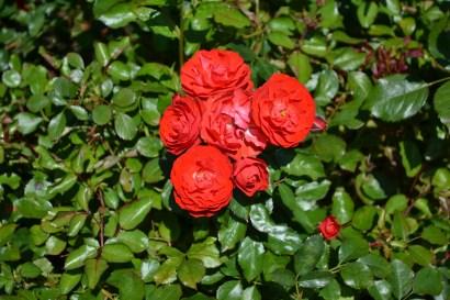 Rose_8