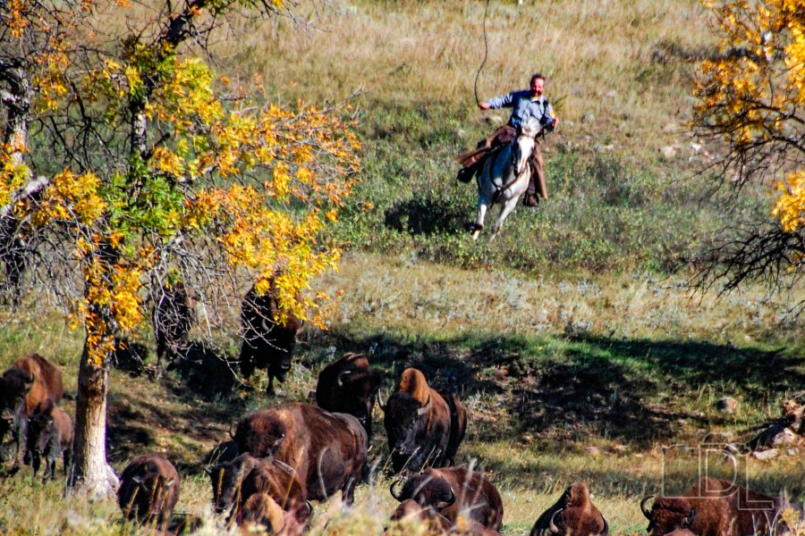A cowboy corrals some bison at Custer State Park's annual Buffalo Roundup.
