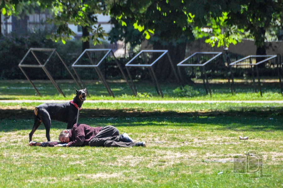 A watchful Dobermann Pinscher protects his master while he takes a nap in a park in The Hauge, Netherlands.
