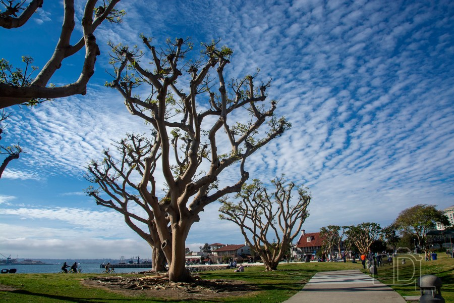 Large coral trees reach toward the Cirrocumulus clouds along a path into Seaport Village in San Diego, California.