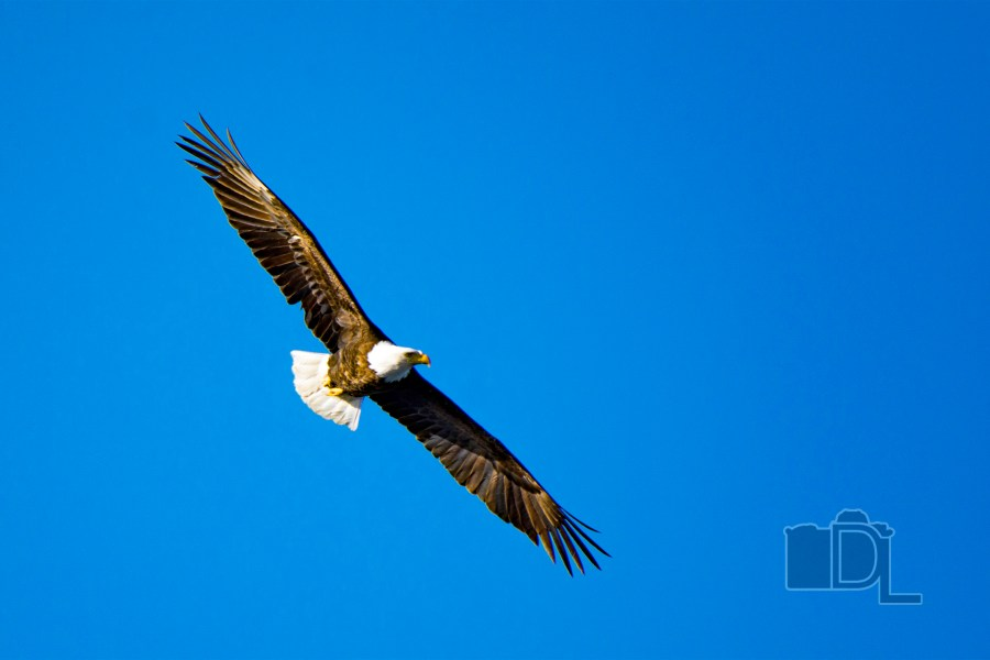 A Bald Eagle soars through the sky over the Missouri River at Gavins Point Dam.