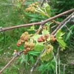 Baby Grapes