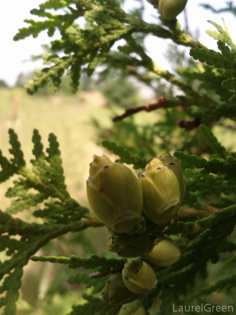 Cypress Buds