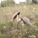 Dead Milkweed