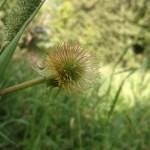 Green Bur