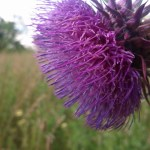 Nodding Thistle