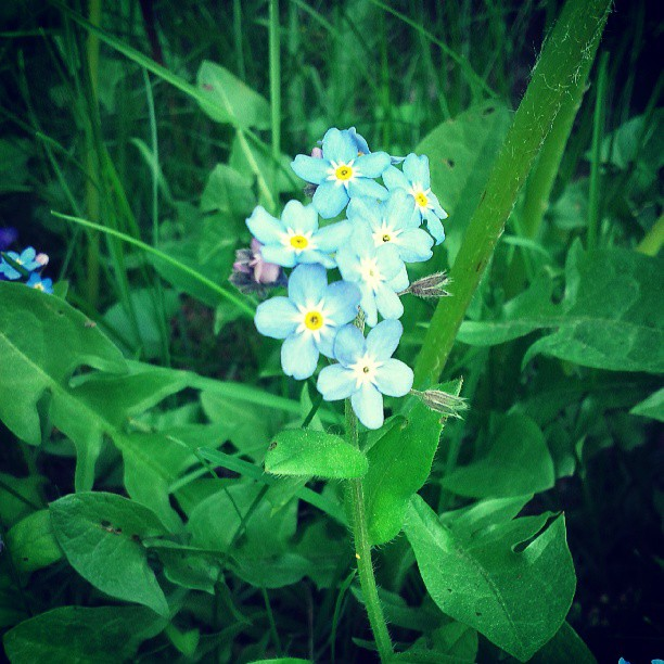 a photo of some forget-me-not flowers