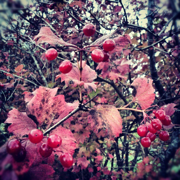 a photo of some cranberries withering on the bush during fall