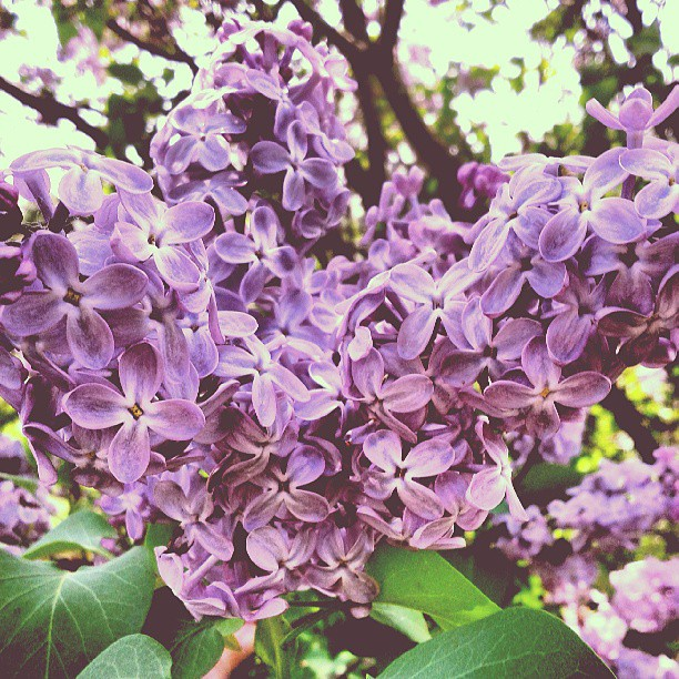 a photo of some lilac flowers
