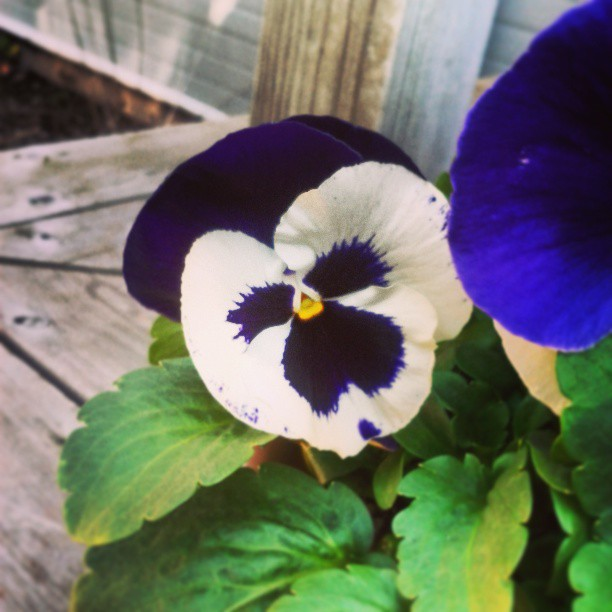 a photo of a purple and white pansy