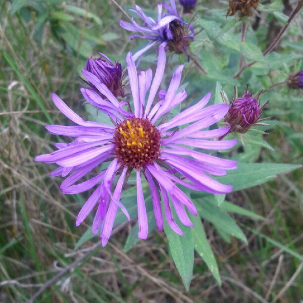 a photo of a purple fleabane flower outside