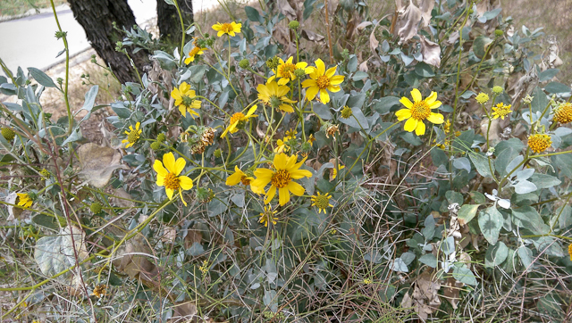 yellow brittlebush flowers