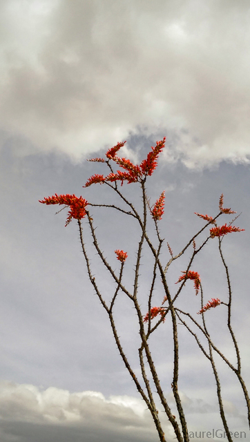 orange ocotillo flowers