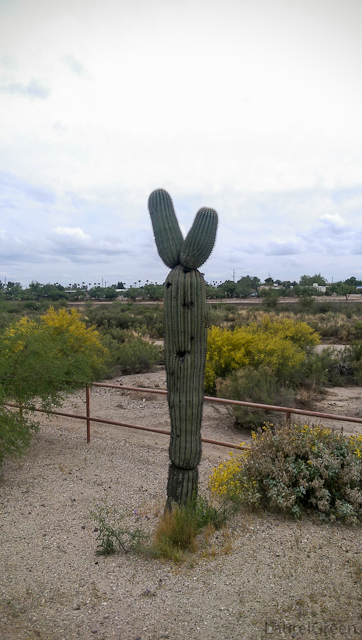 a saguaro full of holes made by birds