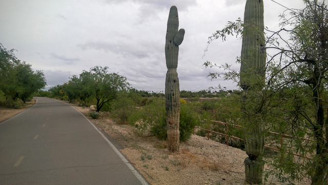 two saguaros alongside a path