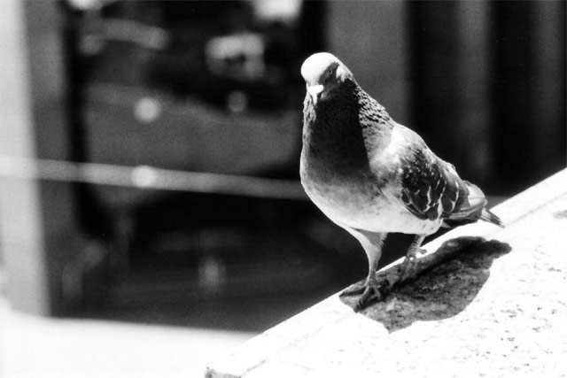 Image result for pigeon photography