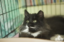 Fluffy black and white kitten with green eyes at an pet adoption event