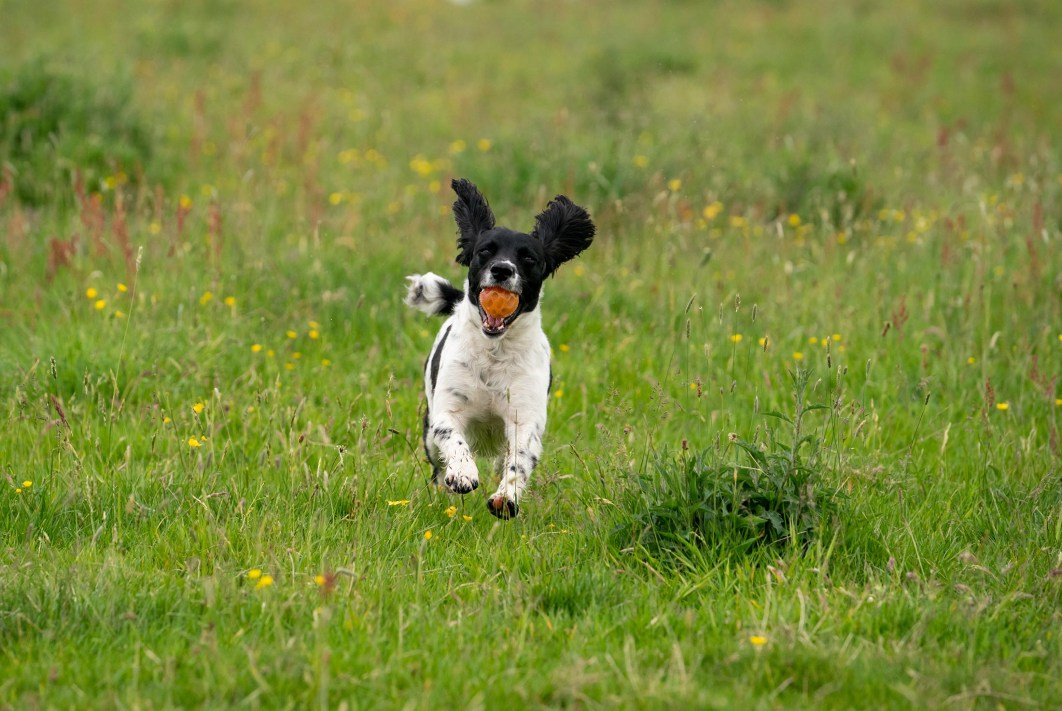 A dog runs through a field with a ball in its mouth