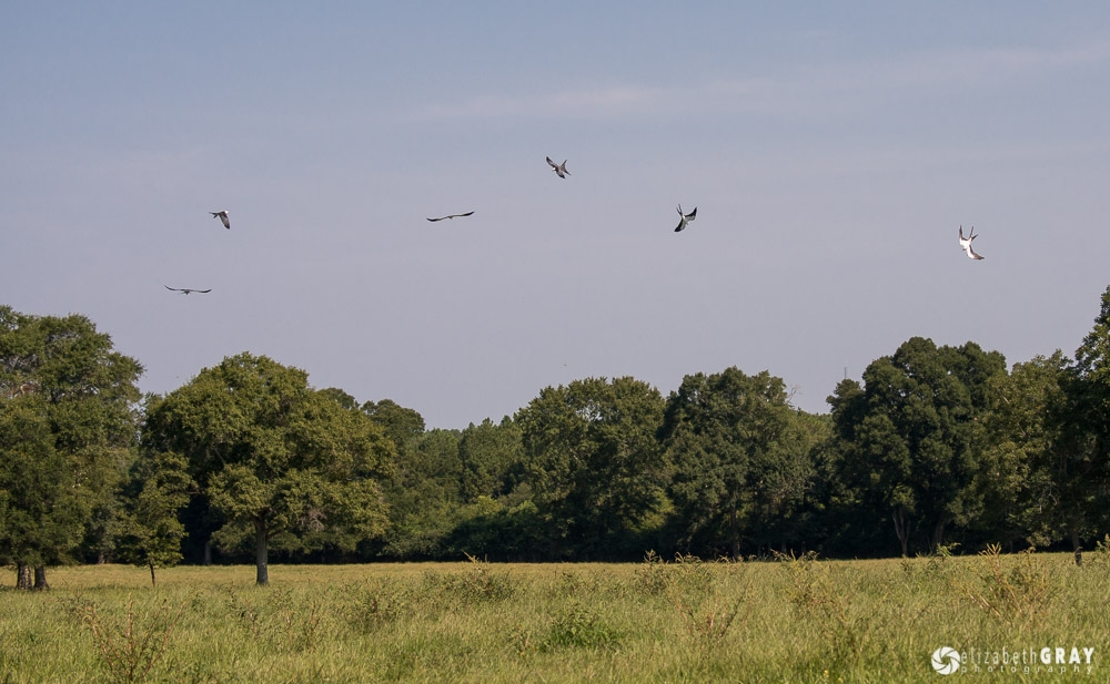 Swallow-Tailed Kite Ballet – August 4