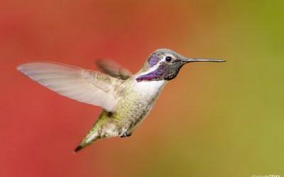 Palm Springs Hummingbirds – November 2013