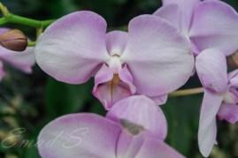 great-singapore-roses_20983129984_o