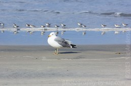 seagull - little ones in a line
