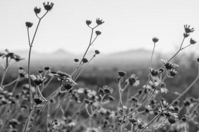 3.19.17 Wildflowers Arizona3.19.17 Wildflowers Arizona Terri Attridge-0181-3