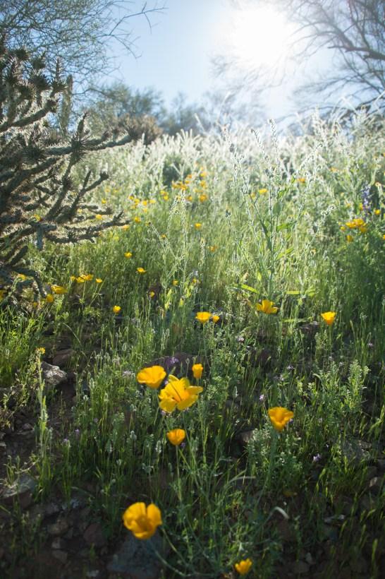 3.19.17 Wildflowers Arizona3.19.17 Wildflowers Arizona Terri Attridge-0310