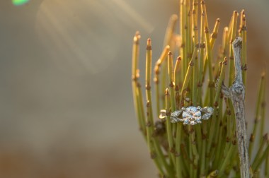 Engagement ring in Mormon Tea plant, Grand Canyon