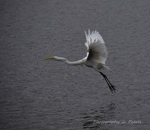 egret-in-flight-6