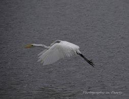 egret-in-flight-7