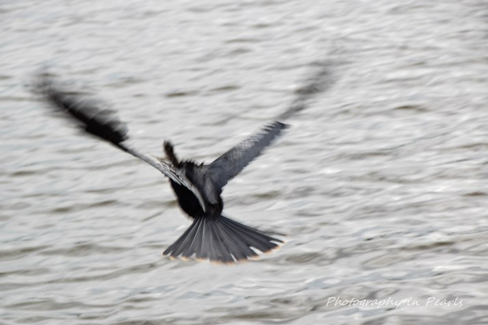 Anhinga in Flight 1