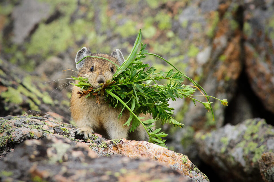 Pika with Grass Front