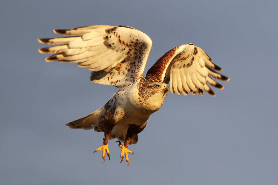 Ferruginous Hawk (2)