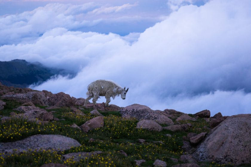 Mount Evans Goat with Optimal Shutter Speed