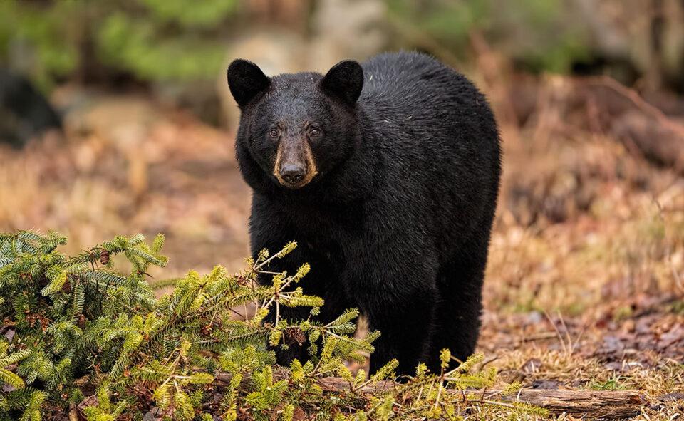 Female Black Bear Near Fallen Tree