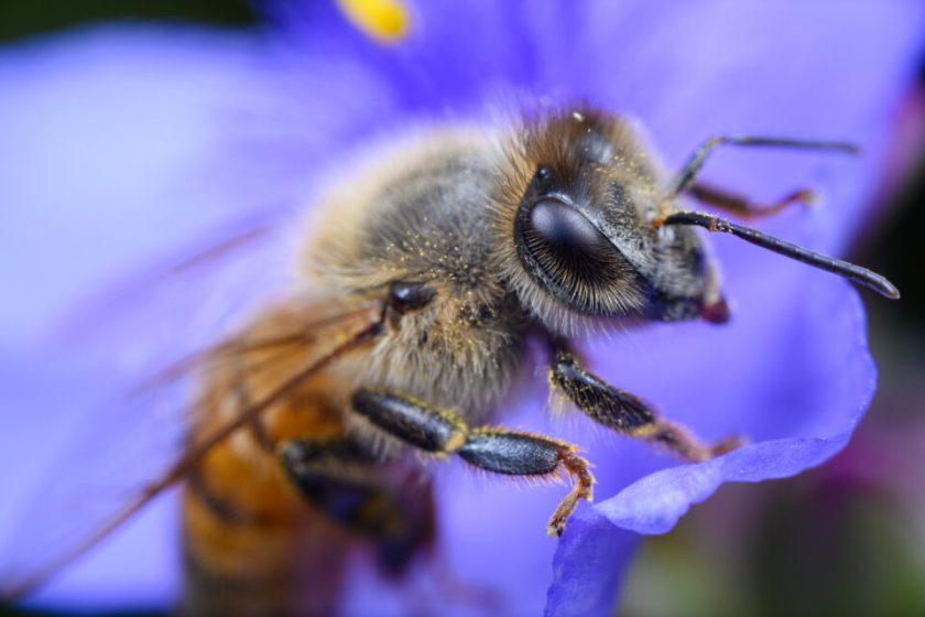 Bee at 2.5× magnification with Venus Laowa 25 Ultra Macro