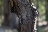 Snottygobble bark