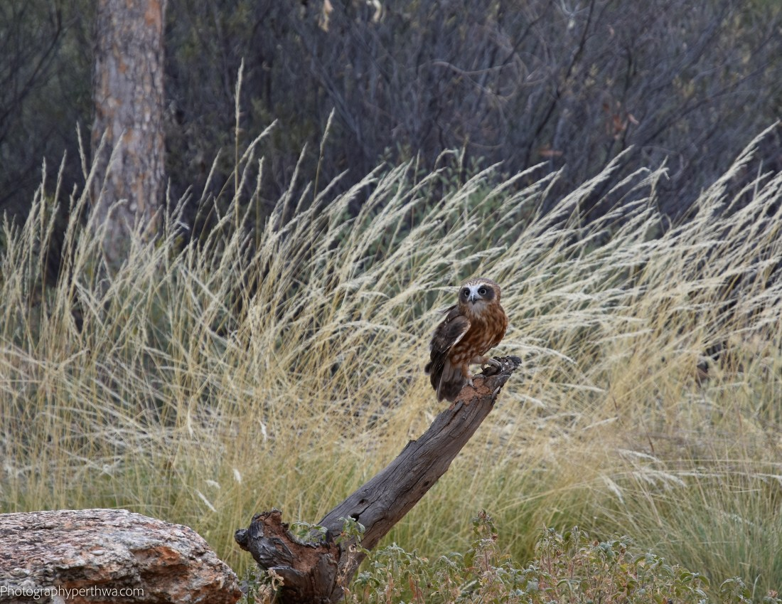 Alice Springs Desert Park - boobook2 (1 of 1)
