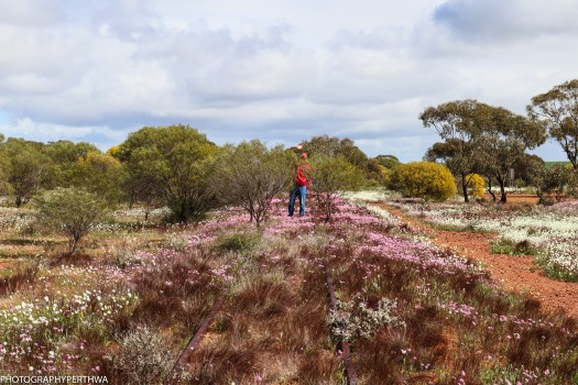 wildflowers outside Mullewa3 (1 of 1)