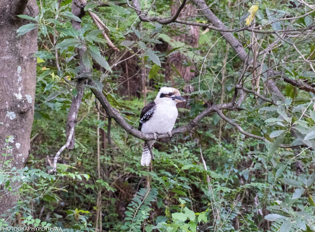 kookaburra (1 of 1).jpg