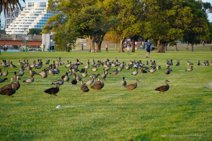 Many ducks - 1.jpeg
