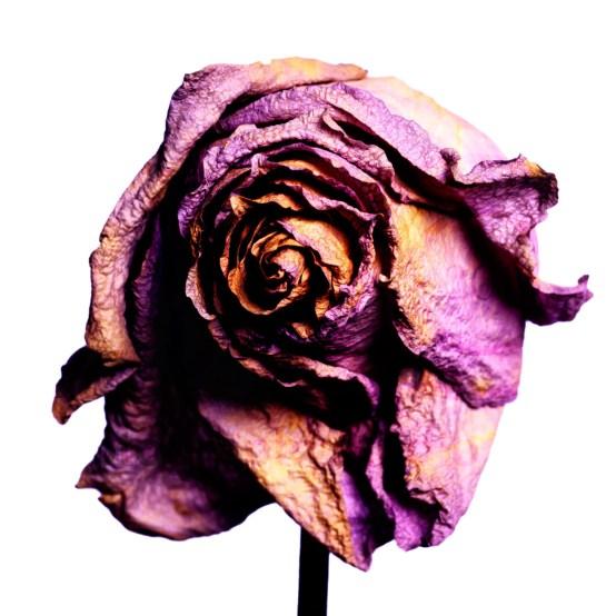 20150906_1711-purple-square-rose