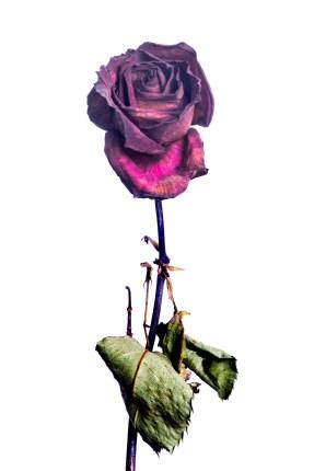 20150906_1723-red-rose-stem